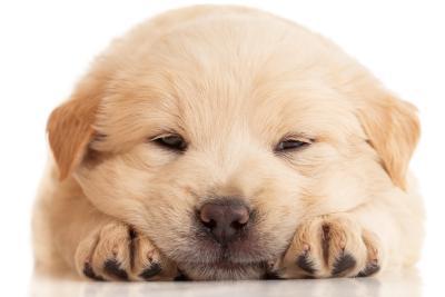 Hundewelpe niedlich