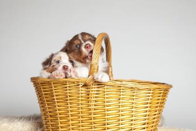 Seriösen Hundezüchter erkennen
