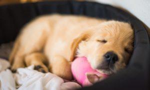 Welpe schläft mit Ball